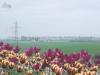 Blommor vid tjurarna, Lund
